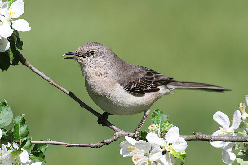 Northern Mockingbirds aren't regular visitors to birdfeeders, but they are common sights around the yard and around parks, foraging flashily (literally) in the grass.