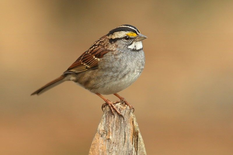 Picture of a beautiful white-throated sparrow