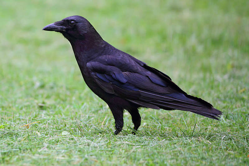 Picture of an American crow bird.