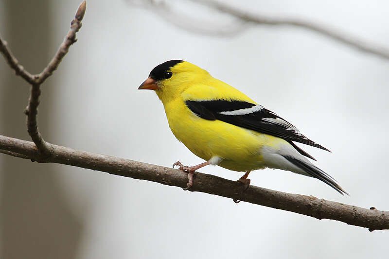 Picture of an American goldfinch bird.