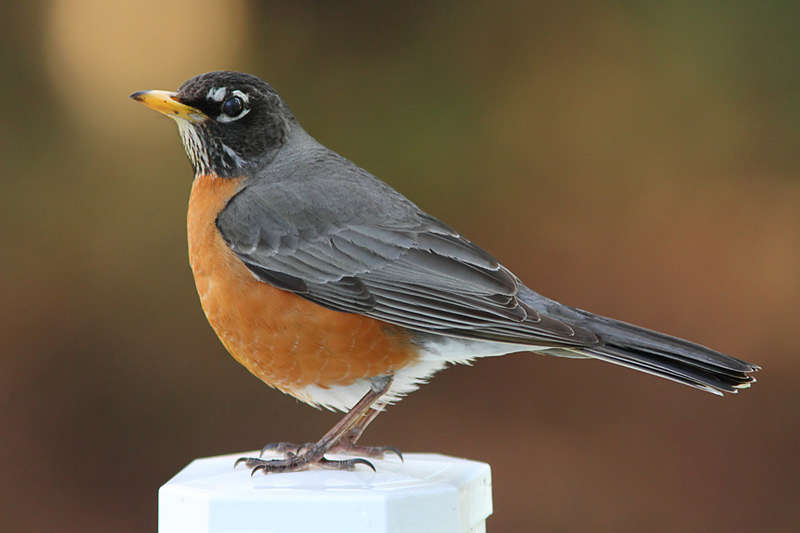 Picture of an American robin bird.