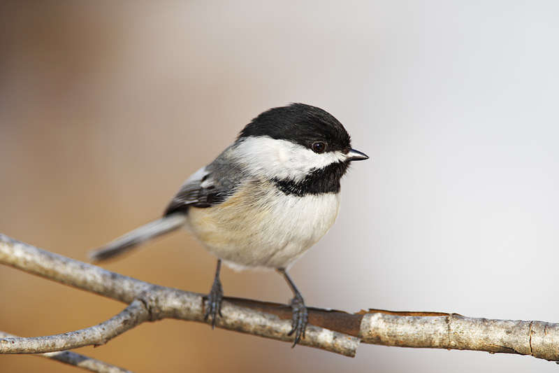 Picture of a black capped chickadee bird.