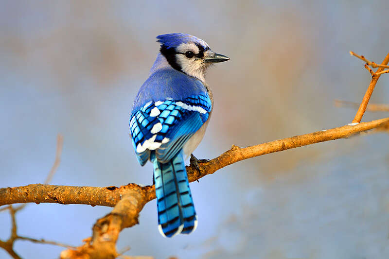 Picture of a blue jay bird.