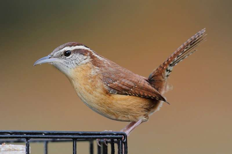Picture of a Carolina wren bird.