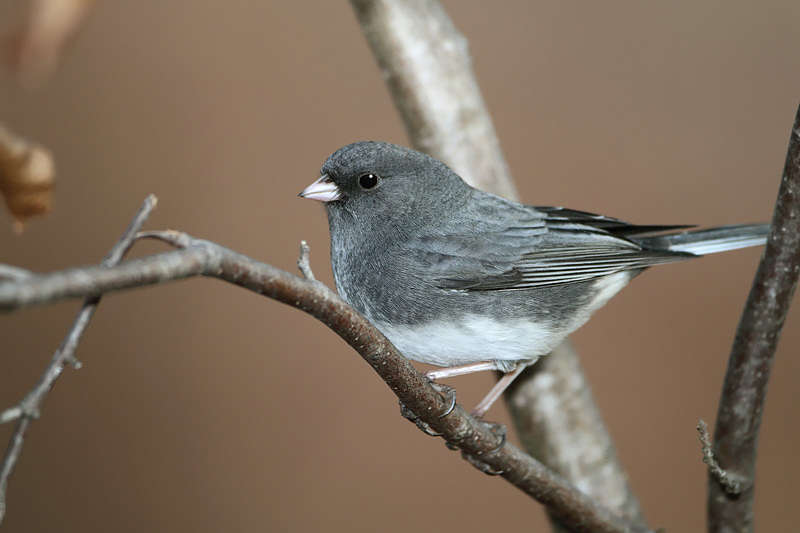 Picture of a dark eyed junco bird.