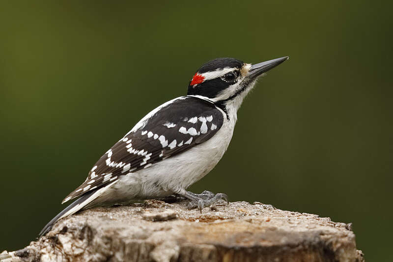 Picture of a male hairy woodpecker bird.