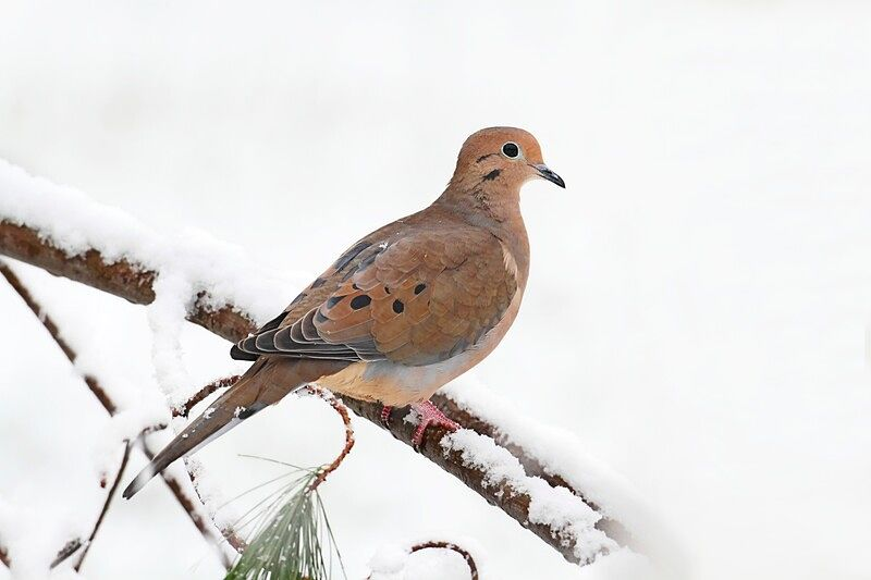 Picture of a mourning dove bird.