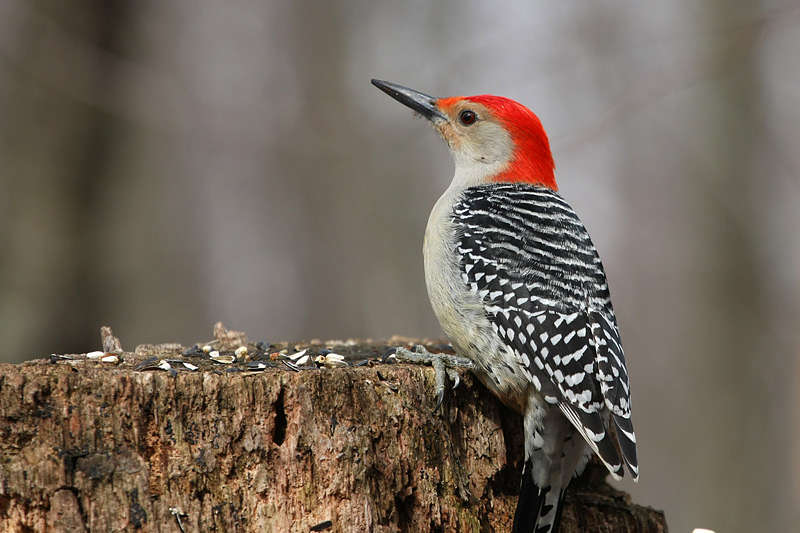 Picture of a red bellied woodpecker bird.