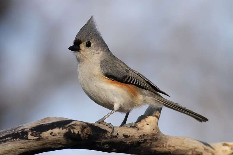 Picture of a tufted titmouse bird.