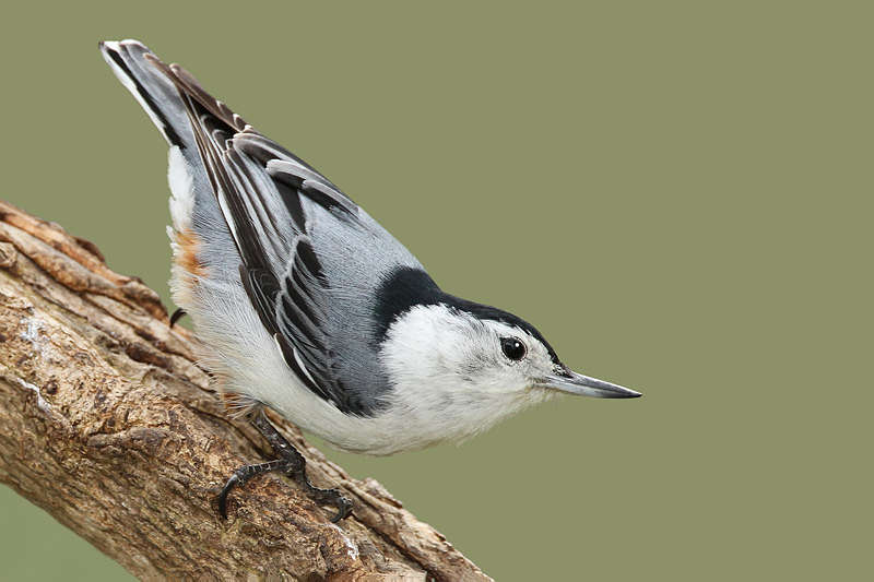 Picture of a white breasted nuthatch bird.
