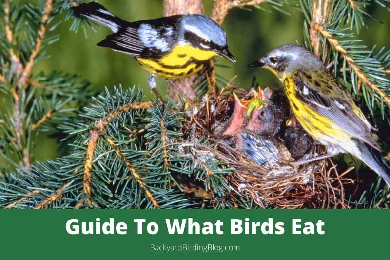 Featured image for a guide to what birds eat.